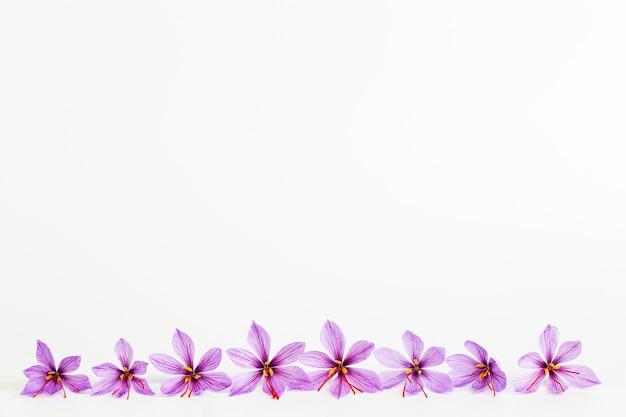 白い背景の上のサフランクロッカスの花。コピースペース。あなたのテキストのための場所。サフランの花が一列に並んでいます。