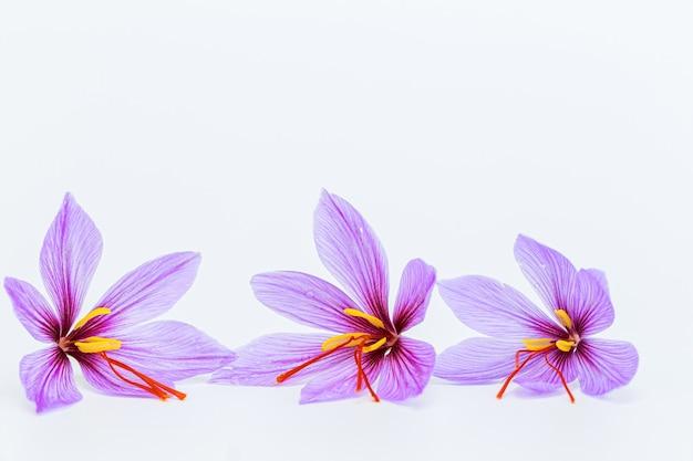白い背景の上のサフランクロッカスの花。コピースペース。あなたのテキストのための場所。