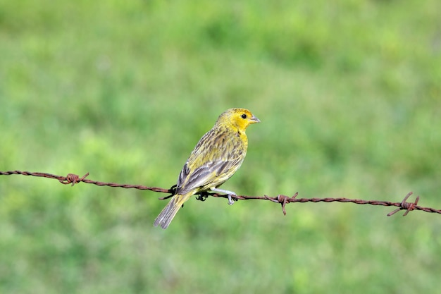Saffron finch perched on the barbed wire