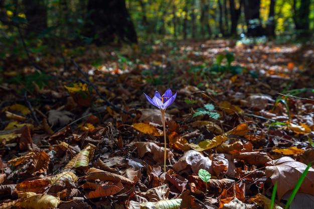 Saffron flower in the autumn forest