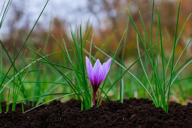 サフランの開花。黒い土の上の単一のサフラン植物。