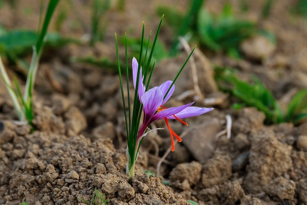 Saffron flowers at harvest time on the field