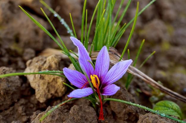 꽃이 피는 동안 사프란 밭에 사프란 꽃.