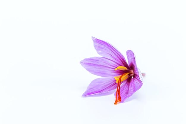 흰색 바탕에 사프란 꽃입니다. 사프란.