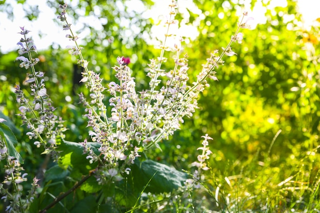 Sage flower outdoors. green salvia plants in the garden.