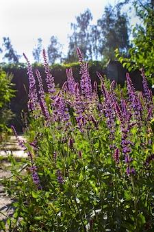 Sage flower in summer in the garden