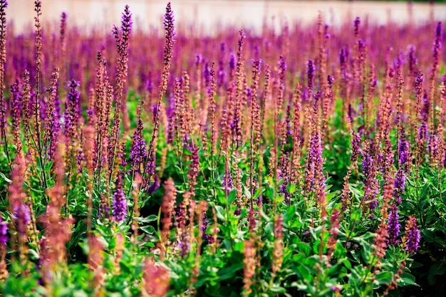 Sage flowers grow in a flower bed in a public park. imitation of lavender. purple small flowers. medicinal plant.