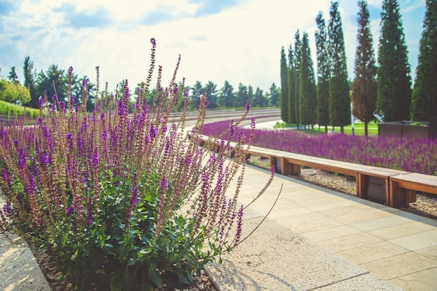 Sage flowers grow in a flower bed in a public park.a winding flowerbed and a sidewalk.