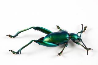 Sagra femorata scarabeo insetto