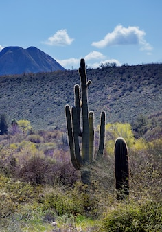 Saguaro cactus in mountains, arizona desert