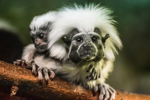 コットントップタマリン(saguinus oedipus)と赤ちゃん