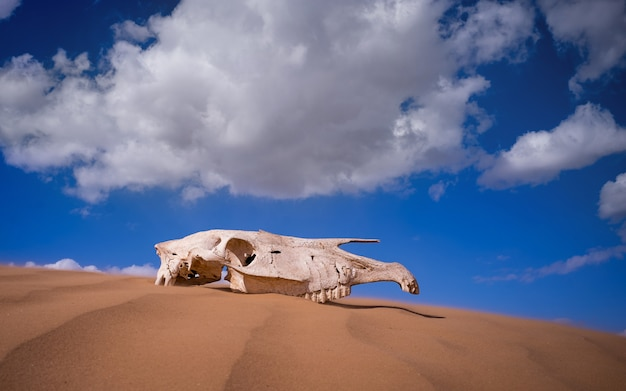 Saiga skull in the desert. animals of the red book. sunny day.