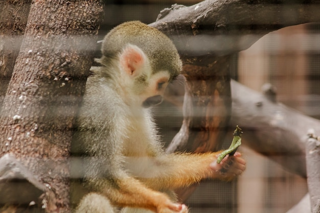 Saimiri sciureus in a cage is a small monkey found in south america.