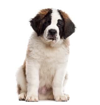 座って、白で隔離のカメラを見ているセントバーナードの子犬