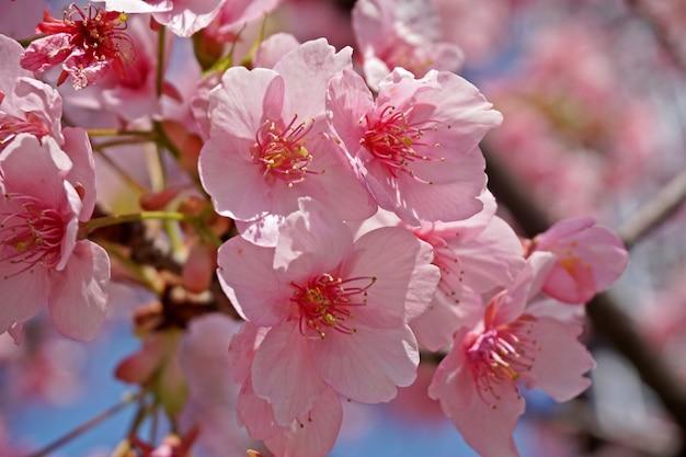 Sakura backgraound close up