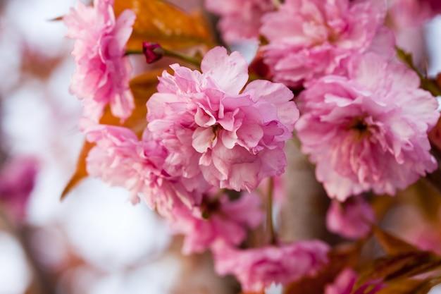コピースペースと桜咲く枝のクローズアップ