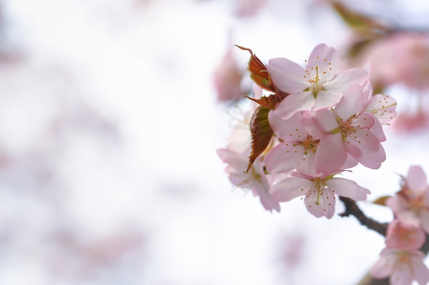 Sakura blooming, spring gentle background. apple flowers selective soft focus