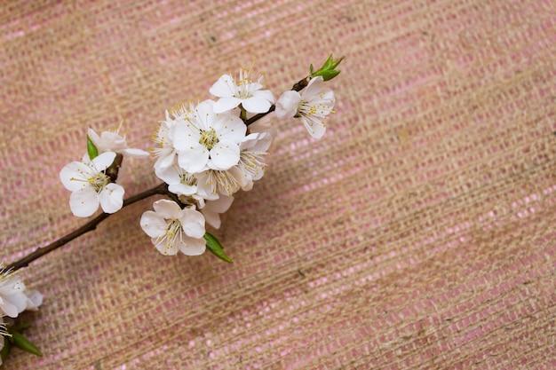 Sakura blossom, cherry blossom blossoms, spring