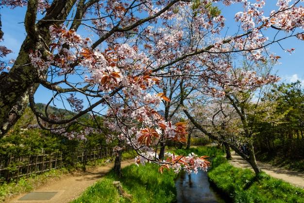Sakura blossom at oshino hakkai village
