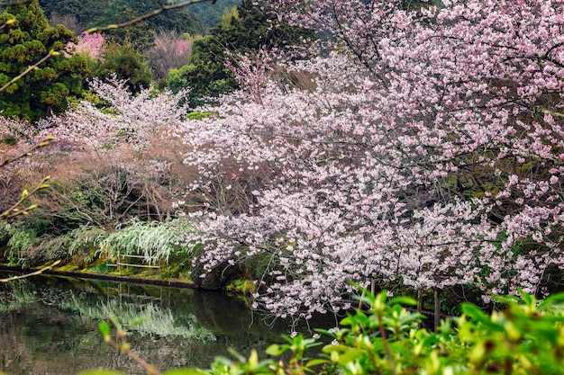 Sakura blossom in the park with a pond