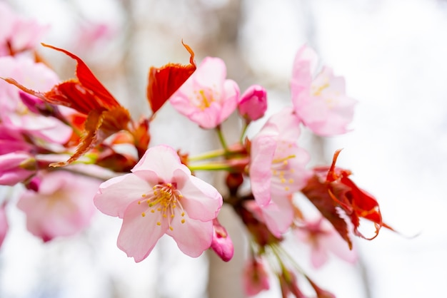 Sakura blossom in spring. beautiful pink flowers of the tree.