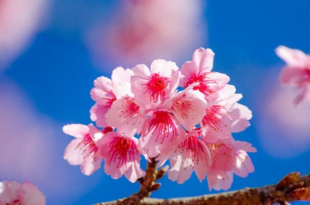 Sakura blue background angkhang chiang mai thailand