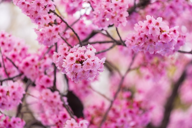 Sakura, cherry blossom flower in spring season