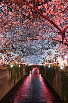 Sakura, cherry blossom flower with light at night in meguro river, tokyo, japan