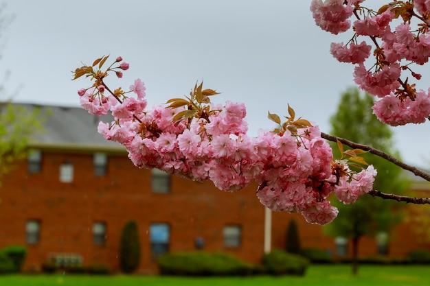 Sakura. cherry blossoms pink spring blossom background.