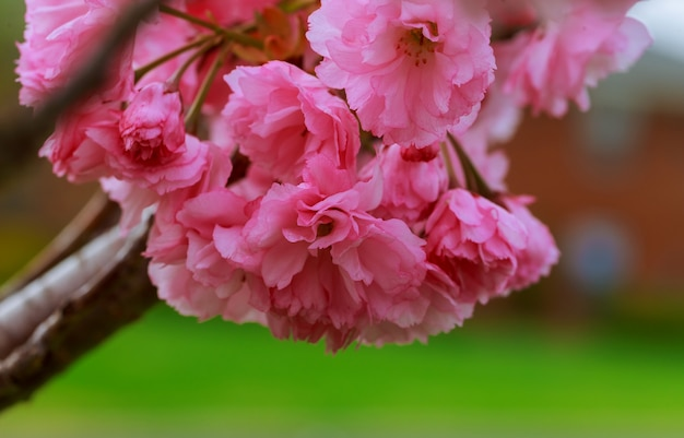 Sakura. cherry blossoms pink spring blossom