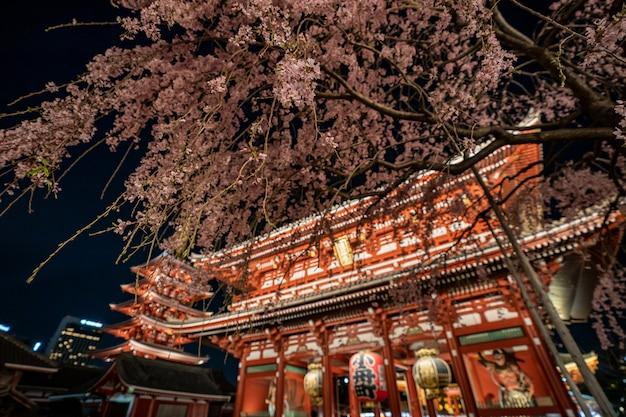 Sakura cherry blossoms at the sensoji temple at night in asakusa