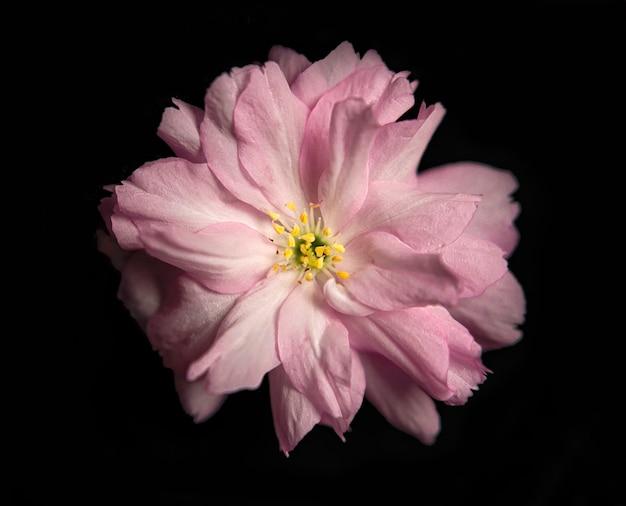 Цветок сакуры, изолированные на черном фоне