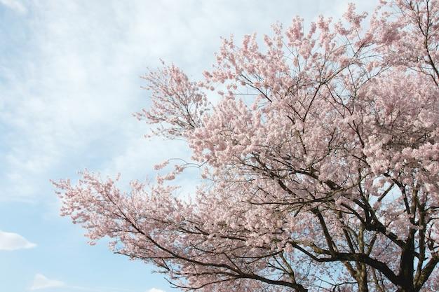 Сакура цветок или вишневый цвет.