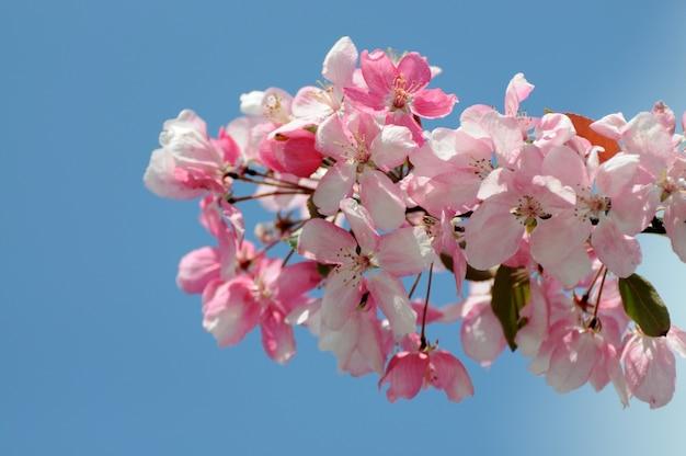 사쿠라 꽃이 피었습니다. 아름다운 분홍색 벚꽃