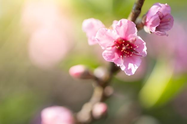 Цветущие цветы сакуры в чиангмае, таиланд,