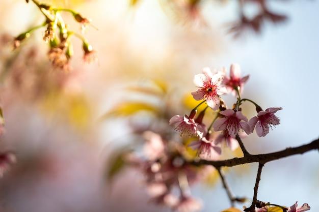 Цветущие цветы сакуры