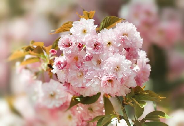 사쿠라 꽃. 꽃이 만발한 벚꽃. 섬세한 분홍색 꽃이 피는 일본 벚꽃