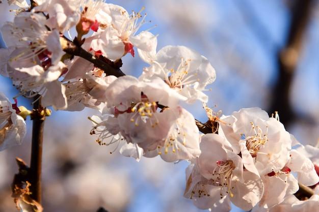 Сакура или цветение вишни в цветном цвету в весенний сезон.