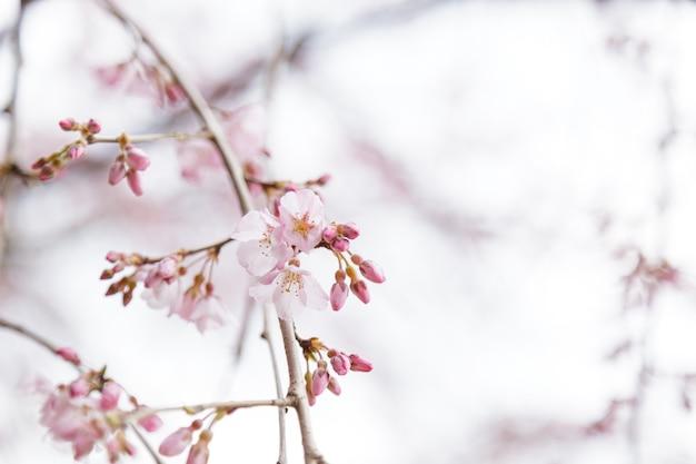 Сакура, цветение вишни или цветок японской вишни название заказа - розалес, семейство - розоцветные, цветущие в саду.