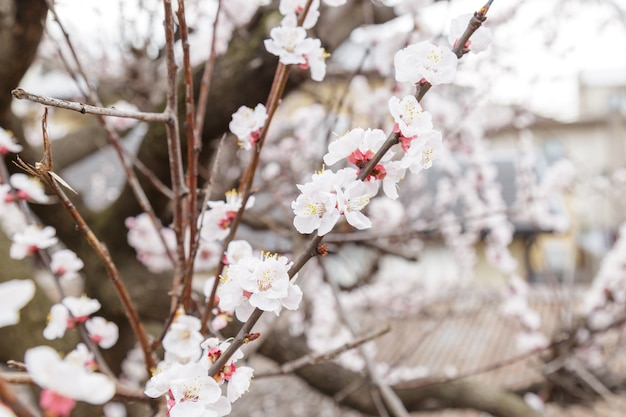 사쿠라 또는 벚꽃 또는 일본 체리