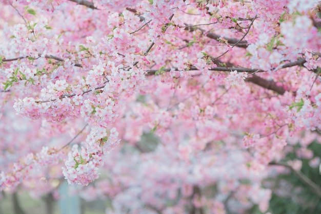 Sakura,pink cherry blossom in japan on spring season.