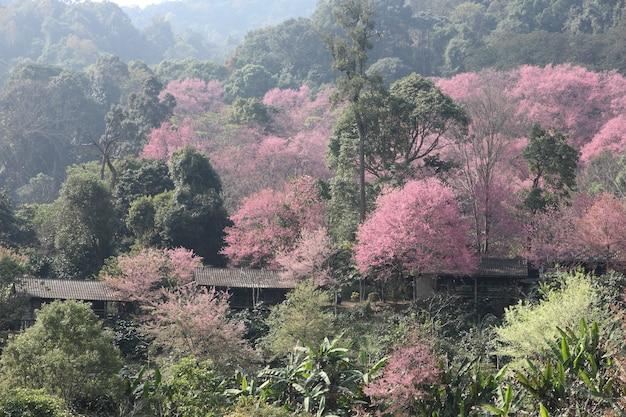 チェンマイ、山のサクラピンクの花(桜)