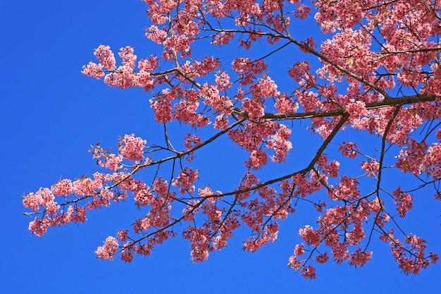 Sakura pink flower on mountain in thailand, cherry blossom