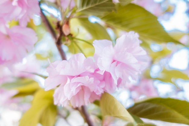さくらピンクが咲いています