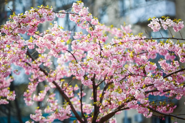 Сакура улица. вид на цветущее дерево сакуры на улице