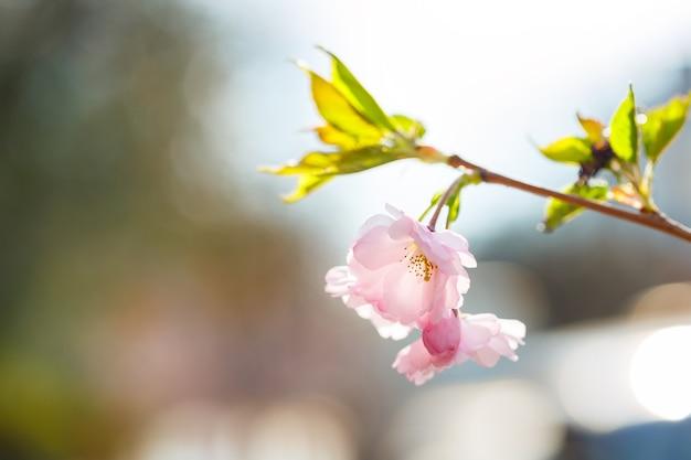 사쿠라 거리. 거리에 만개한 벚꽃 나무의 전망