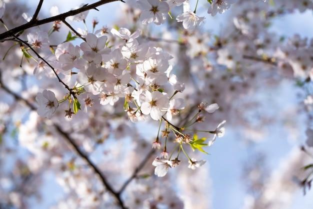 Дерево сакуры и яркое ясное голубое небо. солнечный свет в фоновом режиме