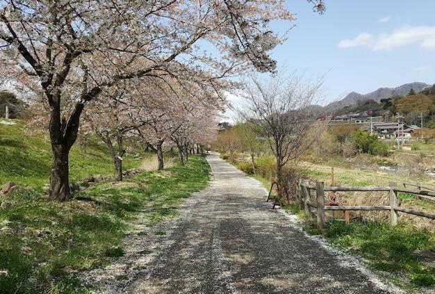 봄에는 공원에서 벚꽃 나무