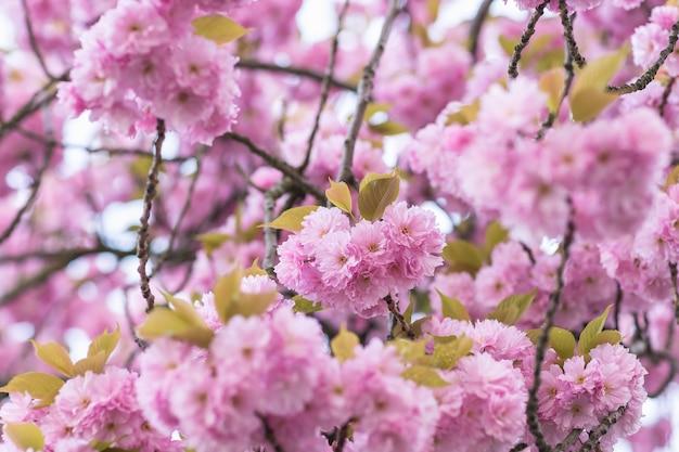 흐리게에 꽃과 사쿠라 나무 가지