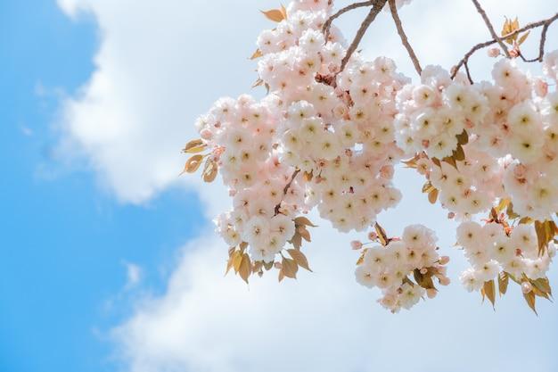 Sakura tree branch